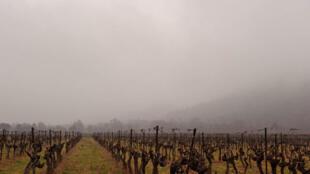En Charentes, 10 000 hectares du vignoble destiné en majorité à la fabrication du cognac, ont été touchés par les intempéries.