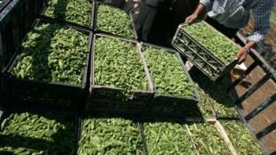 Un fermier palestinien prépare des caisses de gombo dans un champ proche du village de Ya'bad, le 11 juillet 2012. La production récoltée est vendue à des usines israéliennes.