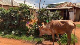 (illustration) À Minembwe, vivent plusieurs communautés: les Banyamulenge qui sont des éleveurs et les Babembes des agriculteurs, nous explique le bourgmestre