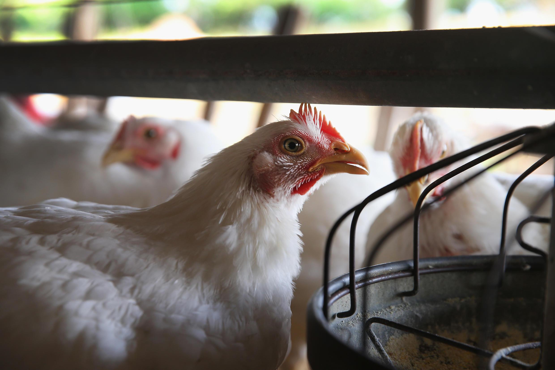 l'intérêt majeur de cette réouverture du marché de la volaille vers la Chine, c'est l'appétit des Chinois pour les pattes et les ailes de poulet, ils aiment croquer les cartilages, des morceaux que les Français ne mangent pas.