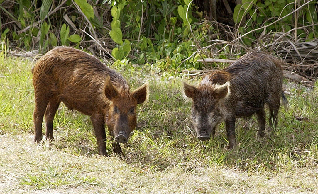 Les fédérations de chasse auraient lâché dans la nature, il y a quelques années, des centaines de sangliers métissés avec des cochons. Ils ravagent les cultures aujourd'hui.