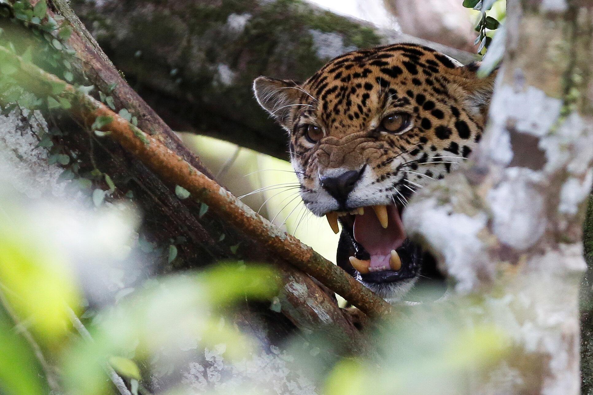 В Боливии насчитывается около 7 тысяч ягуаров