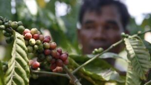 A OIC reúne 77 países produtores e consumidores de café.