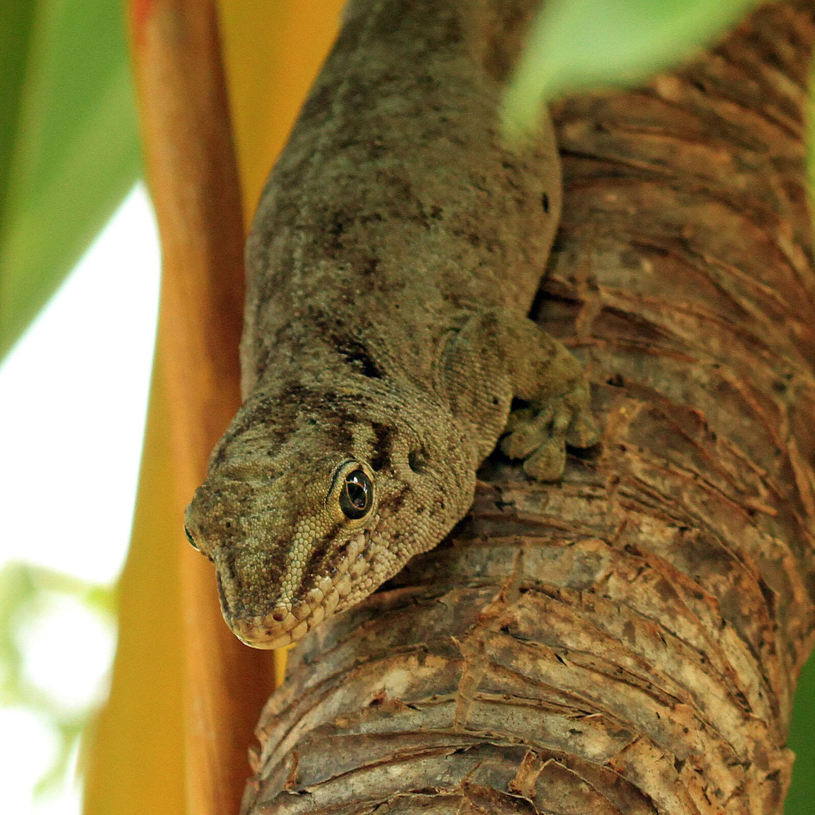 The 25 cm long Günther's gecko is found on two islets off the coast of Mauritius: Round Island and Ile aux Aigrettes.