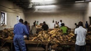 Dans une ferme de la commune de Zomba au Malawi, des employés  trient les feuilles de tabac.