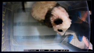 Le bébé panda du zoo de Beauval (centre de la France) né le 4 août 2017. Photo prise le 22 novembre 2017 lors de la visite qui lui a rendu l'ancien président de la République Nicolas Sarkozy.