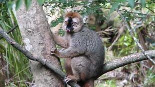 Un Lémurien « Eulemur Rufus » au parc de l'Isalo, à Madagascar.