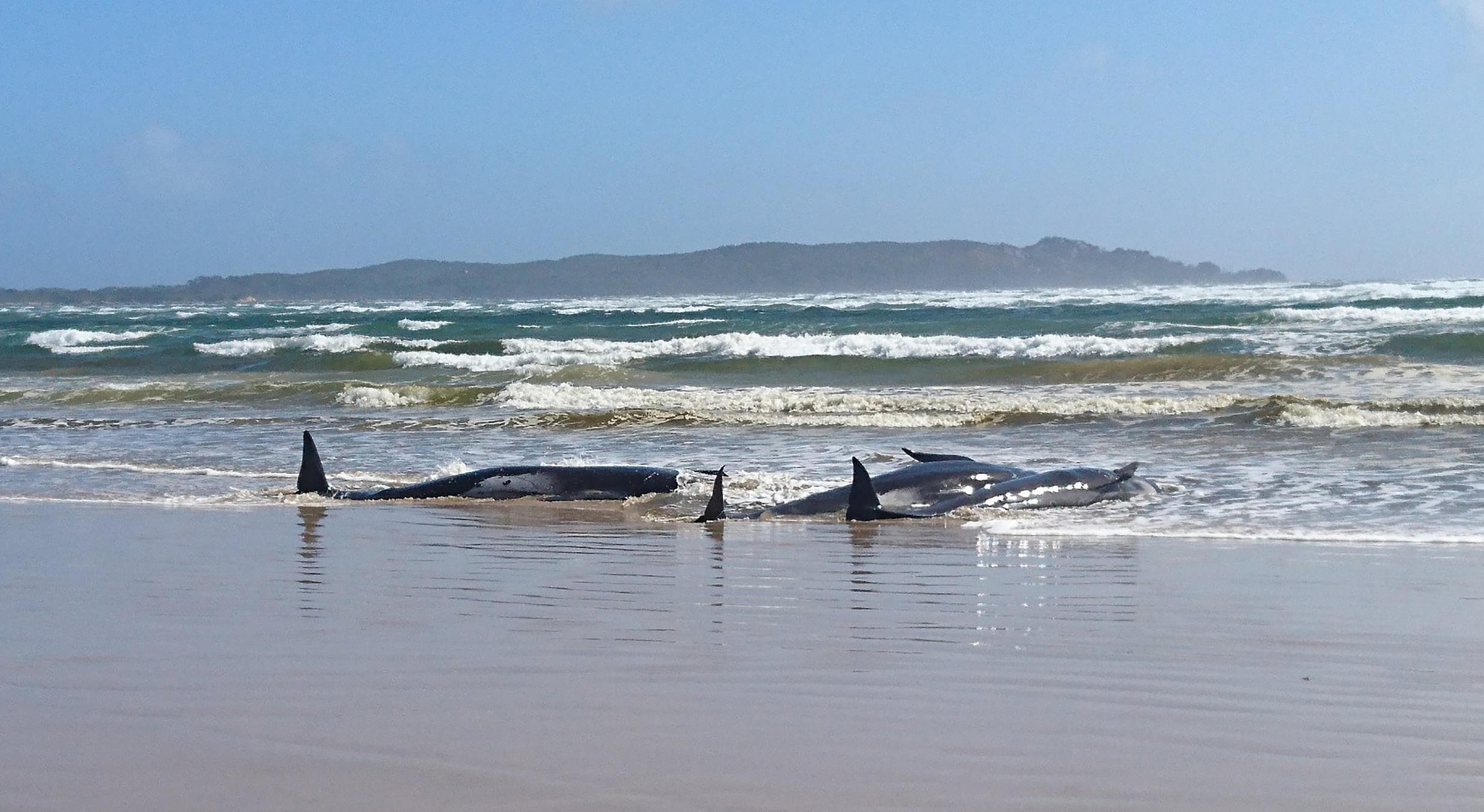 Hundreds of whales are stranded on a sandbar in Macquarie Harbour on the rugged west coast of Tasmania, in one of the biggest beachings the state has ever seen