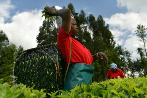 Kenya's smallholder farmers are now beginning to benefit from growing their prized black tea.