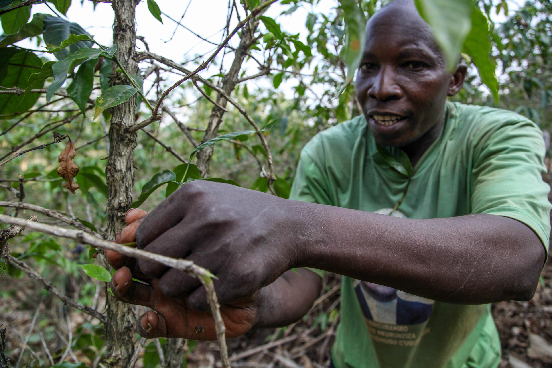 Une plantation de café de la province de Ngozi, dans le nord du Burundi, considérée comme la région qui produit le meilleur café du pays.