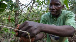 Dans une plantation de café de la province de Ngozi, dans le nord du Burundi, considérée comme la région qui produit le meilleur café du pays.