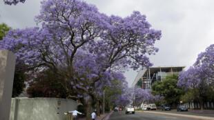 Des jacarandas fleurissent dans les rues de Johannesburg, le 7 novembre 2013.