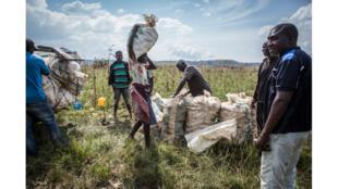 Agriculteurs chargeant une voiture avec des sacs de maïs à Barkin Ladi (Nigéria) le 24 octobre 2018.