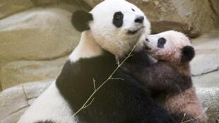 在法國出生的大熊貓寶寶圓夢和它的媽媽2018年1月13日