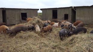 Les cochons de Rolf-Axel Nordström sont élevés en plein air toute l'année, à Vellinge dans le sud-est de la Suède.