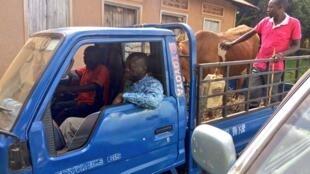Kizza Beisgye akiwa ndani ya Lori na ng'ombe aliyekuwa anakwenda kuuza kwenye Harambee Chuo Kikuu cha Makerere jijini Kampala