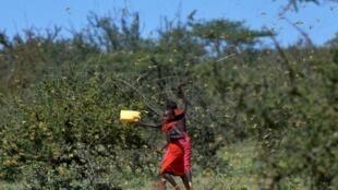 Des enfants en train de chasser des criquets de leur champs dans le village kenyan de Larisoro. Le 21 janvier 2020.
