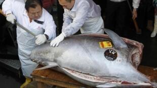 Le thon rouge le plus cher du Japon, découpé dans un restaurant de Tokyo, le 5 janvier 2012.