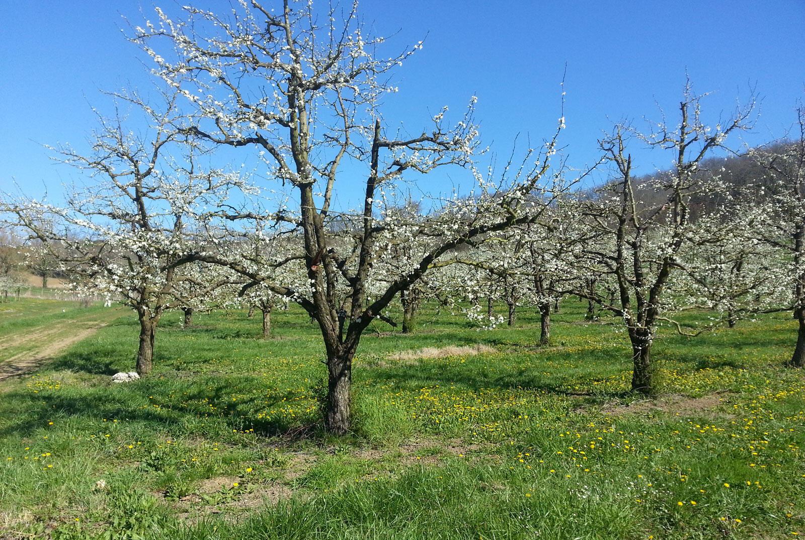 Plantation traditionnelle de pruniers.