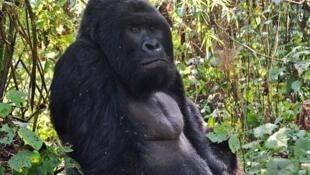 Gorille, de l'espèce beringei en voie de disparition, photographié en aout 2015 dans le parc national de Virunga dans l'Est de la RDC.