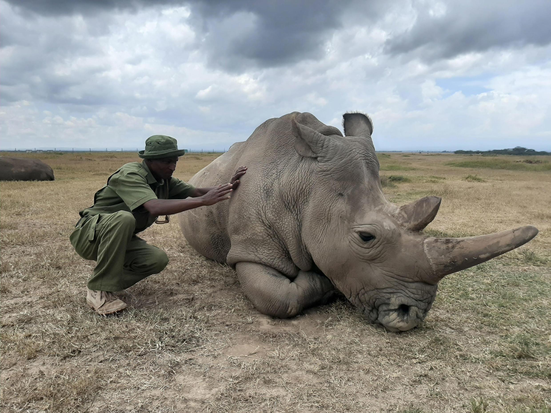 Réserve de Ol Pejeta, au nord de Nairobi: Najin, femelle rhinocéros blanc du Nord (ici avec son gardien Zacharia Mutai), est avec sa congénère Fatu, la dernière représentante de l'espèce, février 2020.