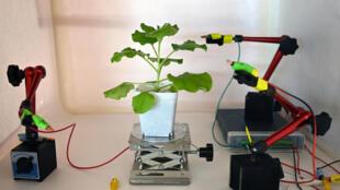 Una prueba de electrodos en la superficie de una planta de tabaco el 24 de marzo de 2021 en un laboratorio de Singapur, donde unos científicos experimentan nuevos sistemas para comunicarse con la vegetación