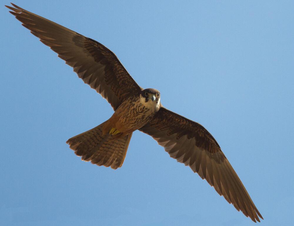 Eleonora's falcon in flight.