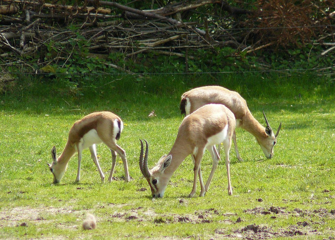 Des gazelles dorcas en captivité à Munich (image d'illustration).