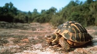 The Hermann's tortoises can be found throughout southern Europe.