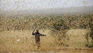 Kenya, février 2020, un homme dans un nuage de criquets qui ont envahi son champ, près de Nanyuki (comté de Laikipia).