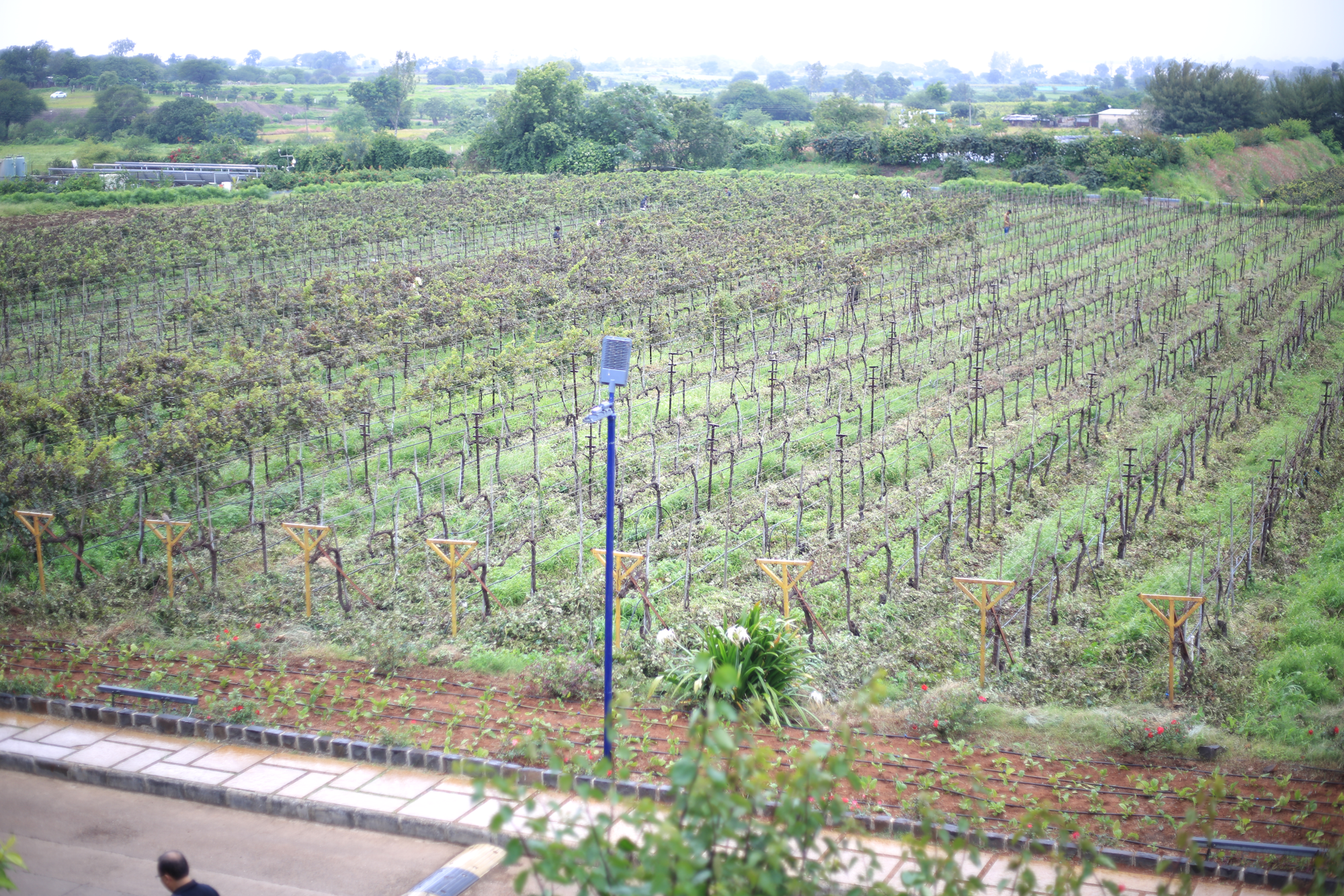 A view of Sula's vineyards on the outskirts of Nashik, India.
