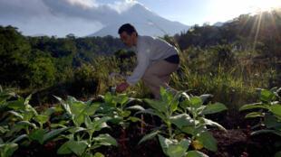 Un travailleur indonésien dans un champ de tabac, sur l'île de Java, le 16 mai 2006.