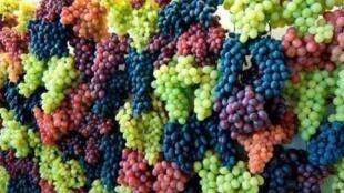 در هرات، بیش از ١٠٠ نوع مختلف انگور به عمل میآید.