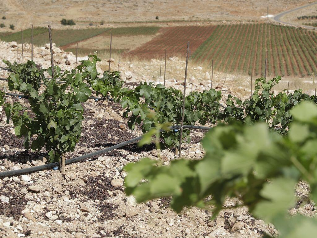 Les vignes dans la Valée de la Bekaa, au Liban.