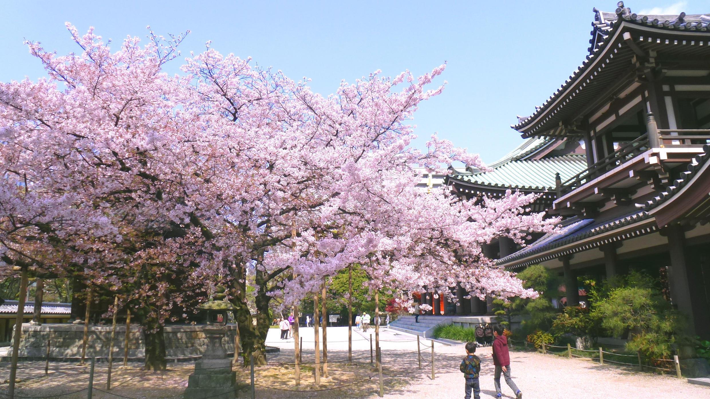 Mùa xuân xứ Phù Tang : hoa anh đào nở rộ khắp các công viên Tokyo, thủ đô Nhật Bản - DR chùa pagode pagoda cherry japan tokyo
