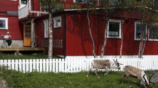 Renas invadem áreas residenciais e estradas na Noruega em busca de abrigo contra o forte calor.