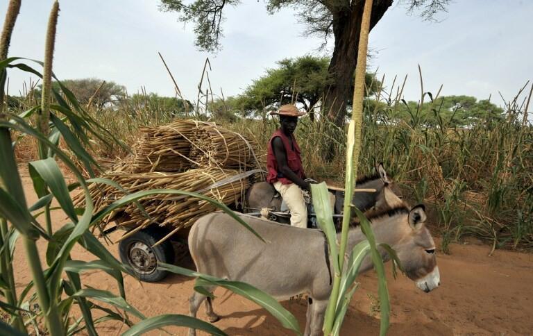 Le prix des peaux d'ânes a été multiplié par 10 en Afrique au cours des dernières années, jusqu'à 12 sur le marché international.