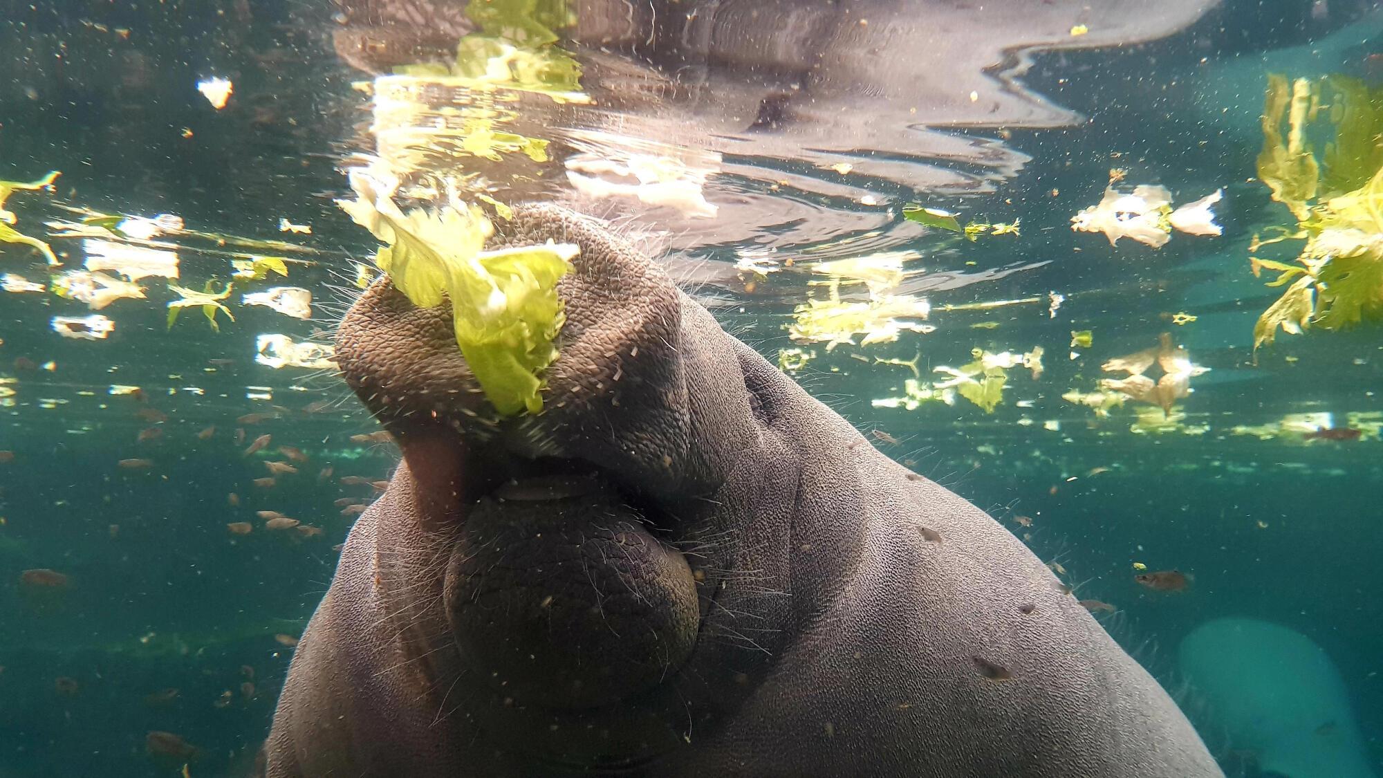 Au Parc zoologique de Vincennes, le lamantin avale 40 kilos de salade par jour.