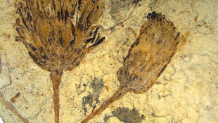Fósil de la familia de las margaritas hallado en las cercanías de la ciudad de Bariloche en la Patagonia argentina.