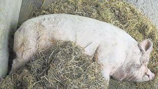图为2008年5月12日汶川大地震中存活下来的猪坚强10年后近况