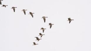 Pourquoi la migration des oiseaux ?