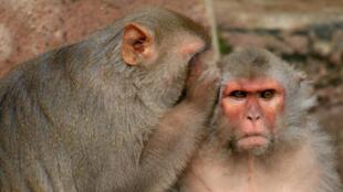 Des macaques Rhésus, espèce très souvent utilisée comme modèle dans la recherche scientifique.
