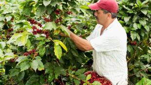 Cosecha de café en Colombia