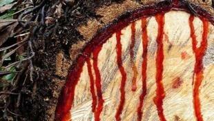 Madeira de Pau de Sangue