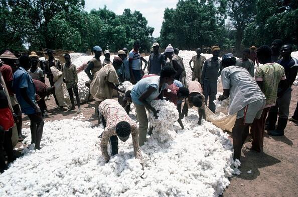 Le Burkina Faso est revenu à 100% de coton NON OGM, la belle fibre longue du premier producteur africain est de retour sur les premières tonnes égrenées