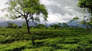 A tea estate in West Bengal