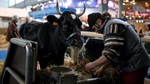 Le Salon de l'agriculture 2017, porte de Versailles à Paris. La vache Fine, une Bretonne pie noir, est la star cette année.