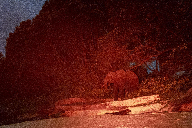 Éclairé par une lumière rouge, un éléphant de Pongara se déplace pendant la nuit dans la forêt.