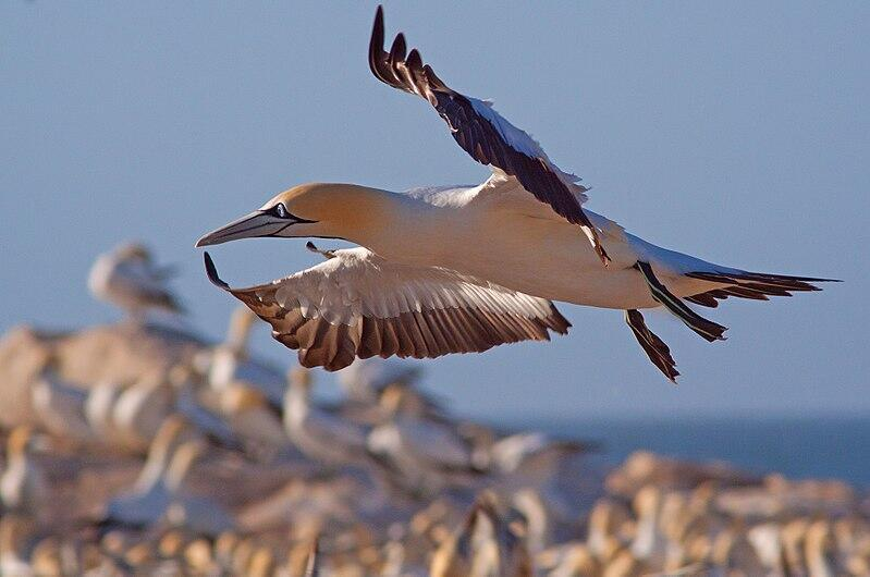 A Cape gannet flies over a breeding colony in South Africa_Hein Waschefort
