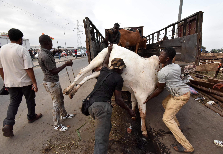 Des hommes chargent du bétail dans leur camion à Abidjan (image d'illustration).